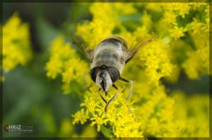 Schwebfliege | Nikon D5100
