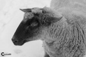 Schaf | Nikon D5300