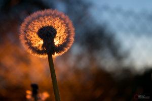 Pusteblume | Nikon D5300