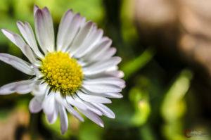 Gänseblümchen | Nikon D5100