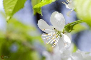 Kirschblüte | Nikon D5100