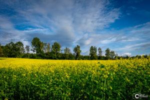 Rapsfeld | Nikon D5300