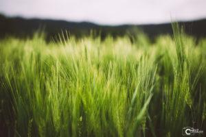 Grünes Getreide | Nikon D5300