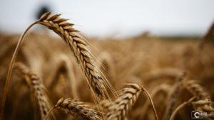 Getreide | Nikon D5300